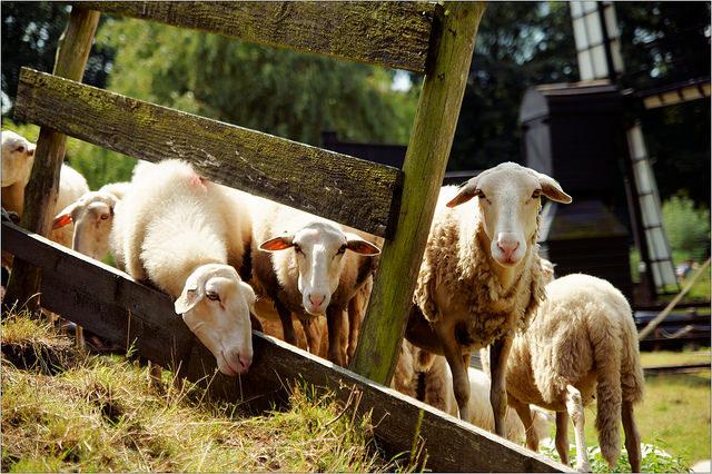 openluchtmuseum-schapen